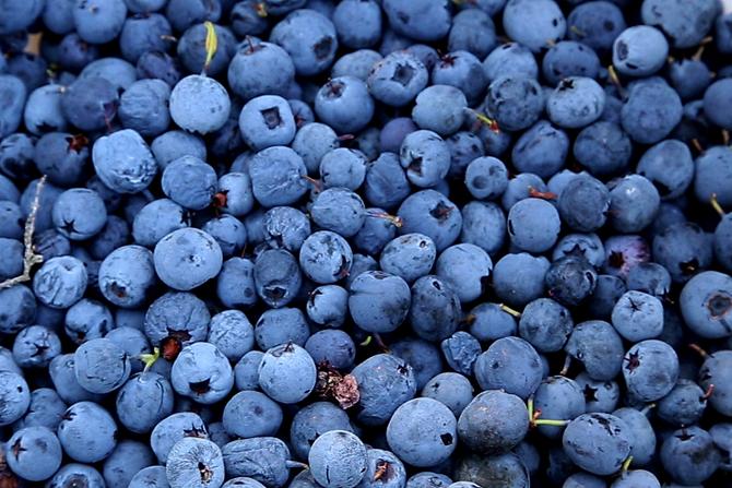 blåbær04670-1